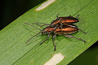 Schilfkäfer, Rohrkäfer, Schilf-Käfer, Rohr-Käfer, Paarung, Kopulation, Kopula, Donacia spec., Danacia spec., reed beetle, pairing
