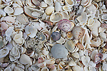 Seashells piled on the beach by the tide.