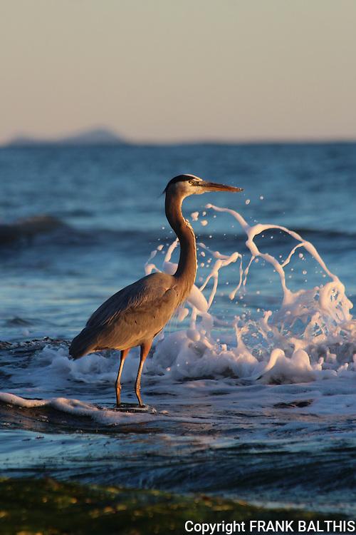Great blue heron in Santa Barbara