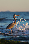 Great blue heron in Santa Barbara