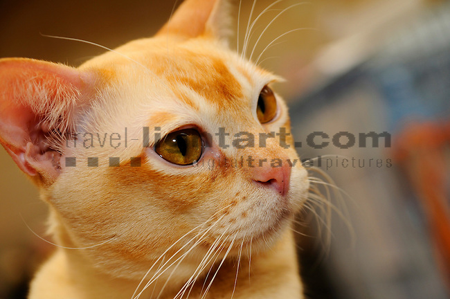 ©Paul Trummer, Mauren / FL, www.travel-lightart.com, www.digital-photos.eu, animal, animalia, animals, Burma Cat, Burmese Cat, cat, catkins, cats, domestic cat, domestic cats, felis catus, living being, mammal, mammals, pet cat, pet cats, predator, predators, vertebrate, vertebrates, warm blooded animals, warm blooded-animal, Fauna, Felis, Fissipedia, Hauskatze, Hauskatzen, Kater, Landraubtier, Landraubtiere, Lebewesen, Mammalia, Rassekatze, Säuger, Säugetier, Säugetiere, Tierbild, Tierbilder, Vertebrata, Warmblüter, Wirbeltier, Wirbeltiere, Haustier, Haustiere, Domestic Animals
