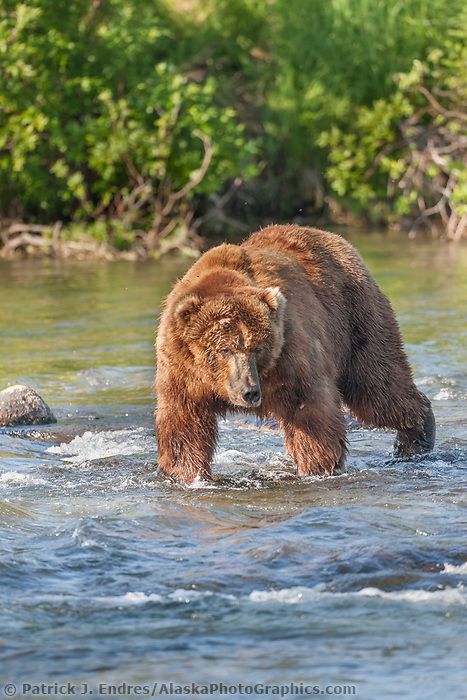 Adult dominant male bear walks in the Brooks river, Katmai National Park, southwest, Alaska.