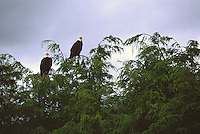 Pair of Mature Adult Bald Eagles (Haliaeetus leucocephalus) perched on Tree Top Branches