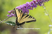 03023-02902 Eastern Tiger Swallowtail Butterfly (Papilio glaucus) on Butterfly Bush (Buddleia davidii), Marion Co., IL