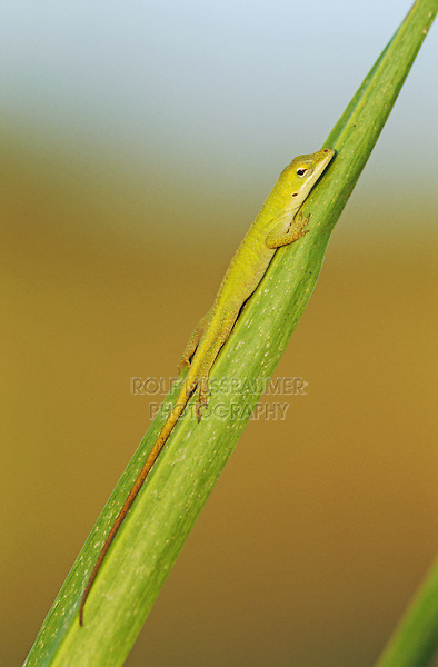 Green Anole, Anolis carolinensis, young on palm leaf, Welder Wildlife Refuge, Sinton, Texas, USA