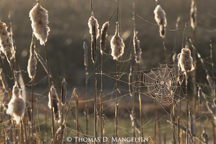 Backlit spider web in cattails.