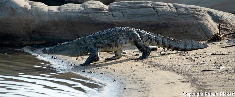 Mugger Crocodile, Crocodylus palustris, Yala National Park, Sri Lanka, walking on beach into sea