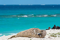 endemic Hawaiian monk seal, Neomonachus schauinslandi ( Critically Endangered Species ), resting on beach while shedding skin and fur during annual molt or molt, black-footed albatrosses, Phoebastria nigripes, in background, East Island, French Frigate Shoals, Papahanaumokuakea Marine National Monument, Northwest Hawaiian Islands, USA ( Central Pacific Ocean )