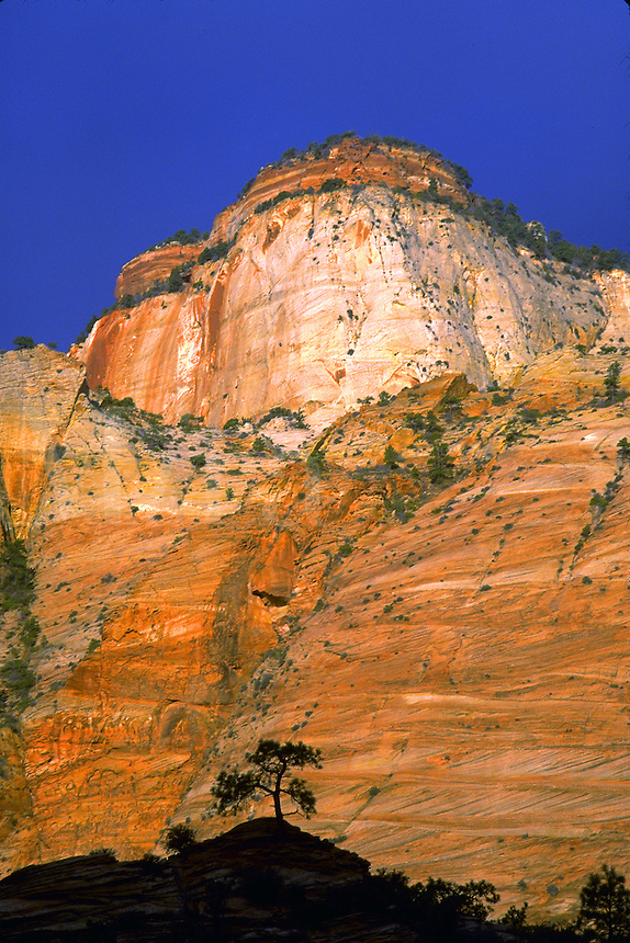 Tree silhouetted against redrock, sunrise, Zion National Park, Utah. Utah, Zion National Park.