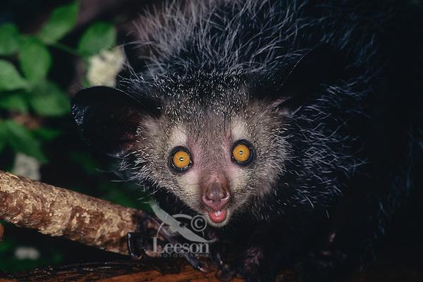 Aye-aye (Daubentonia madagascariensis), Endangered Species.  Found only on Madagascar.
