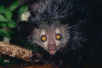 Aye-aye (Daubentonia madagascariensis), Endangered Species.  Found only on Madagascar.