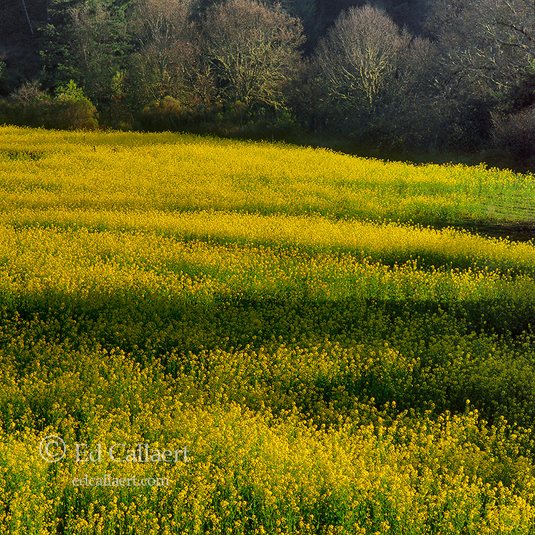 Mustard Field, Napa Valley, California
