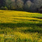 Mustard Field, Napa Valley, California