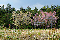 A yaezakura cherry blossom tree (right). Matsukawa-city, Nagano Prefecture, Japan, April 26, 2013. Farmers in the Matsukawa area of Nagano prefecture grow yaezakura cherry blossom to be used as an ingredient in Japanese cakes, sweets and other foods.