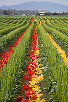 Deadheaded red and yellow tulip flower petals in rows of farm field after the Tulip Festival, Skagit Valley Washington