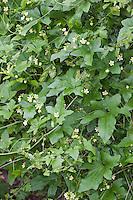 Rotfrüchtige Zaunrübe, Rot-Zaunrübe, Zweihäusige Zaunrübe, Rotbeerige Zaunrübe, Rote Zaunrübe, Bryonia dioica, Syn. Bryonia cretica subsp. dioica, red bryony, white bryony