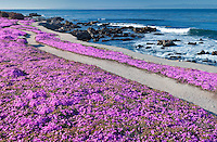Purple ice plant blossoms and trail with ocean. Pacific Grove, California.