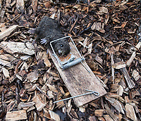 BNPS.co.uk (01202 558833)<br /> Pic: PhilYeomans/BNPS<br /> <br /> Rats are everywhere to add to the grim authenticity of life in the trenches.<br /> <br /> Students of Garth Hill College in Bracknell get used to life in the trenches.<br /> <br /> Class War - A school has turned part of its playground into a replica First World War trench system that makes an fascinating and poignant living history classroom.<br /> <br /> The scaled down trenches allows pupils to get an authentic, hands-on lesson on what life and conditions were like for the unfortunate soldiers who served on the Western Front. <br /> <br /> As well as being given educational talks, students also get muddy taking part in re-enactment demonstrations in the trenches. <br /> <br /> The attention to detail includes replica rifles, bayonets, shell casings and even models of the ever present rats.<br /> <br /> The outdoor classroom is the first of its kind in the country and schools from miles around are booking up visits for their students to experience the real feel of the award winning movie 1917.