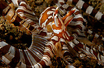 Wunderpus,Wunderpus photogenicus Octopus, Anilao, Batangas, Philippines, Amazing underwater Photography