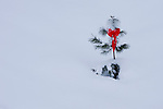 A young ponderosa pine tree with red Christmas bow covered in deep snow.
