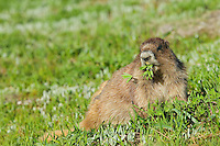 Olympic Marmot (Marmota olympus) eating lupine leaves in alpine area of Olympic Mountains, Olympic National Park, Washington.  Summer.