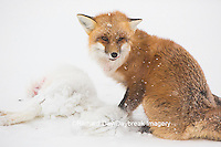 01871-02907 Red Fox (Vulpes vulpes) eating Arctic Fox (Alopex lagopus) at Cape Churchill, Wapusk National Park, Churchill, MB