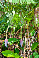 Bunches of bananas hanging from a tree at Tauono's Plantation, Aitutaki Island, Cook Islands.