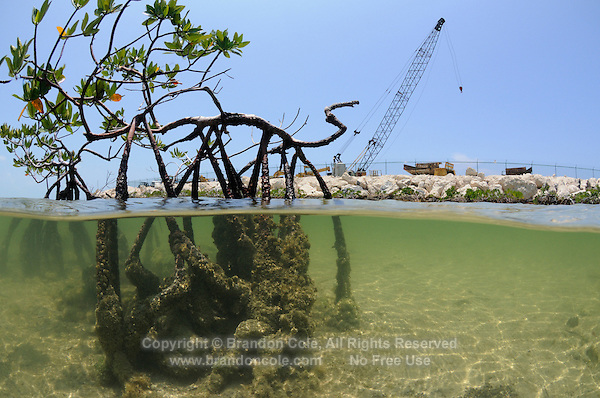 qa32513-D. Critical mangrove habitat, here Red Mangroves (Rhizophora mangle), is disappearing rapidly as development of the Bimini Bay Resort moves forth. Bimini, Bahamas, Atlantic Ocean. .Photo Copyright © Brandon Cole. All rights reserved worldwide.  www.brandoncole.com..This photo is NOT free. It is NOT in the public domain. This photo is a Copyrighted Work, registered with the US Copyright Office. .Rights to reproduction of photograph granted only upon payment in full of agreed upon licensing fee. Any use of this photo prior to such payment is an infringement of copyright and punishable by fines up to  $150,000 USD...Brandon Cole.MARINE PHOTOGRAPHY.http://www.brandoncole.com.email: brandoncole@msn.com.4917 N. Boeing Rd..Spokane Valley, WA  99206  USA.tel: 509-535-3489