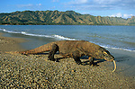 Indonesia, Komodo Island, male Komodo dragon walking on beach, forked tongue used for smelling