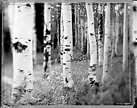 A grove of Aspen trees along Buffalo Pass in Routt National Forest near Steamboat Springs, CO photographed on 4x5 Polaroid Type 55 film in the spring of 2008.