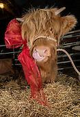 NMS-Rural Coo Calves