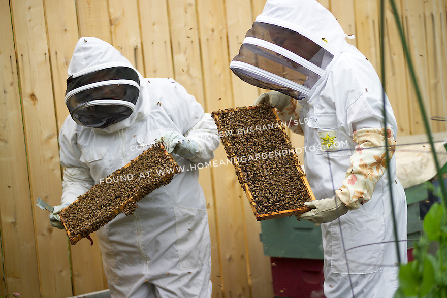Two backyard beekeepers in Seattle, WA, fully dressed in protective suits, masks, and gloves, hold and examine two of the many bee-laden, removable combs that populate the brood box as the bees swarm from the box to defend their hive.
