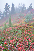 Huckleberry in fall color with forest and fog and light dusting of snow. Mt. Baker Wilderness. Washington