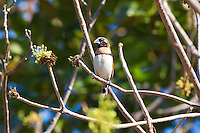 Chestnut-Breasted Mannikin, Lee Point, Darwin, NT, Australia