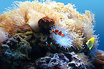 Gathering of tropical reef fish, small octopus and anemone at Moody Gardens Aquarium in Galveston TX