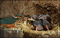 Rare images of Kingfishers nesting.