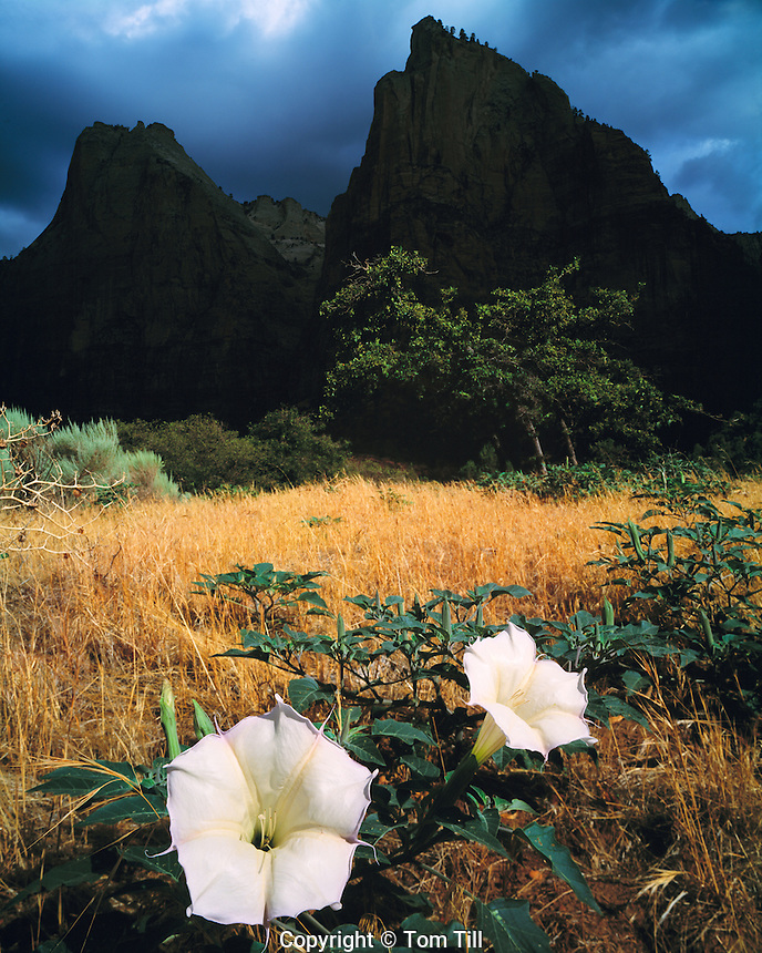 Datura Blooms, Zion National Park, Utah     Three Patriarchs  Datura sp.