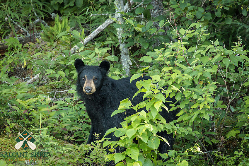 &quot;Black Bear&quot;<br />