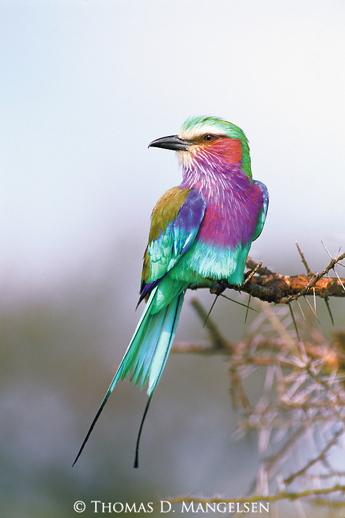 Bedazzling the muted hues of the dusty East African plains, a lilac breasted roller touches down on the tip of a thorny acacia, where it displays an almost unbelievable palette of colors.