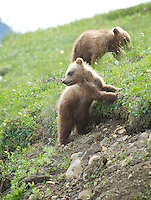 July 3, 2012, Grizzly Bear  cubs, Denali National Park and Preserve, Alaska, United States