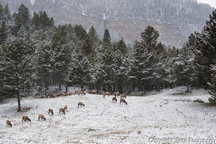Elk in Snow, Yellowstone National Park