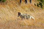 Coyote Hunting, Willow Park, Yellowstone National Park, Wyoming