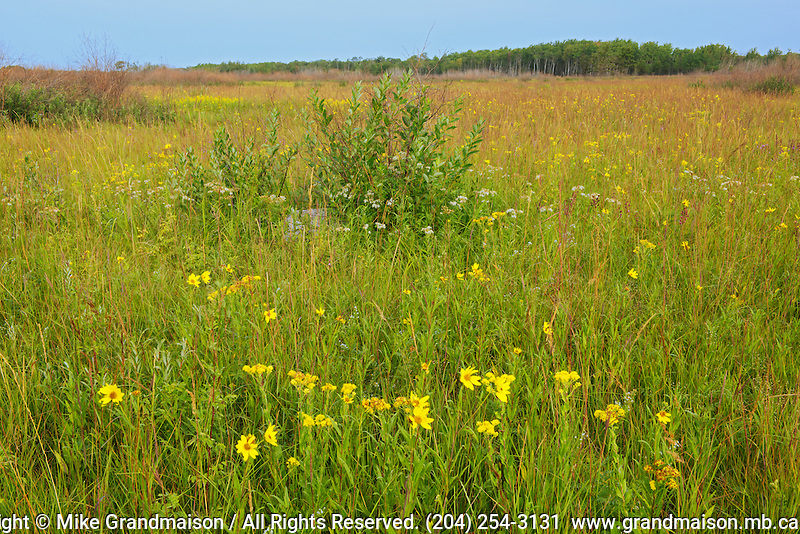 Tall grass prairie in bloom<br /> Tolstoi Tall Grass Prairie Preserve<br /> Manitoba<br /> Canada