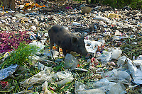 Pig Scavenging Rubbish at Mehrauli Flower Market, New Delhi, India