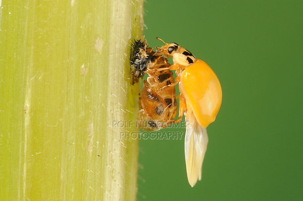 Multicolored Asian lady beetle (Harmonia axyridis), beetle newly emerged from pupa drying wings, New Braunfels, Hill Country, Central Texas, USA