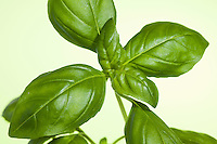 Basilikum, Basilienkraut, Basilien-Kraut, Blatt, Blätter, Ocimum basilicum, Basil, Sweet Basil