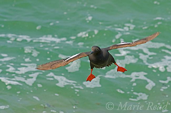 Pigeon Guillemot (Cepphus columba), in flight straight at camera, Santa Cruz, California, USA