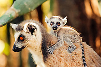 Ring-tailed Lemur (Lemur catta), adult, female, with a young animal, portrait, Berenty Game Reserve, Madagascar, Africa