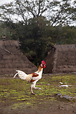 INDONESIA, Flores, rooster at Bena village
