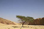 Israel, Eilat mountains, Acacia tree in Nahal Shehoret